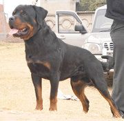 Rottweiler Pups from Wolrd Ch. Lineage
