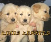 Golden Retriever puppies for available in Bangalore