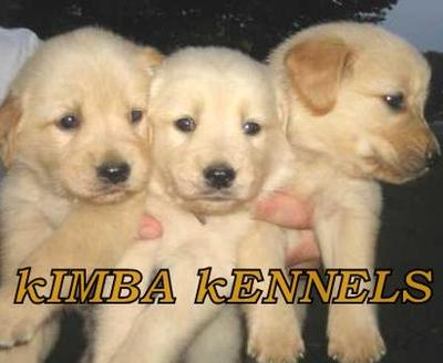 Golden Retriever puppies for available in Bangalore - Dogs for sale ...
