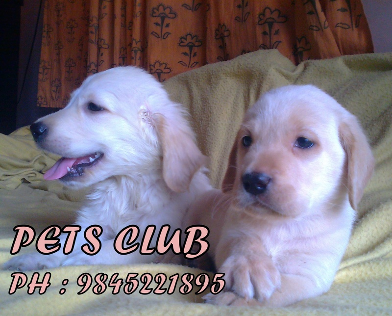 ... Dogs puppies for sale ( Rs.6000/-) - Dogs for sale, puppies for sale