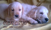 Lab Dogs  puppies for sale ( Rs.6000/-)