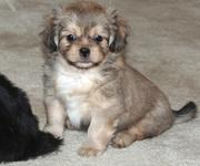 9313005254 Tibetian Spaniel   puppies.