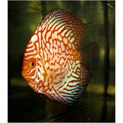 Discus For Whole Sale in Bangolre-Golden Pigeons White face Red Melons