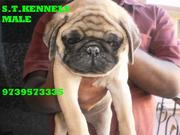 Puppies for sale like Beagle,  Shih tzu,  lhasa apso,  and pug