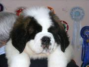 ST/BERNARD PUPPIES FOR SALE IMPOT QUALITY...