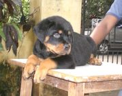 ROTTWEILER PUPPIES FOR SALE..