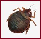 Manhattan Bed Bugs Exterminators | NYC Pest Control Exterminating