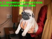 CHAMPION LINAGE PUG PUPPIES FOR SALE