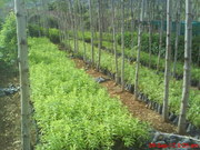 SANDAL WOOD SAPLING & RED WOOD SAPLING FOR SALE AT DIDNDUGUL TAMILNADU