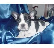 FRENCH BULL DOG PUPPIES FOR SALE AT 9830064171