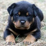 Rottwieller Puppies for sale with Papers and Microchip 9739365509,