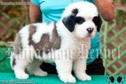 Saint Bernard pups Available in India