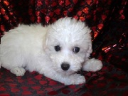 Bichon Fries Puppies for Sale @ 09830064171