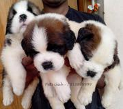 Saint bernard for sale all over the bangalore,  selling in best price