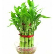Buy Wholesale 2-Layer 3-Layer Lucky Bamboo Plants Online India Bangal