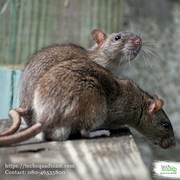 Reliable Rodent Control Service In Bangalore