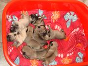5 Male Pugs for Sale & Adoption - Bangalore